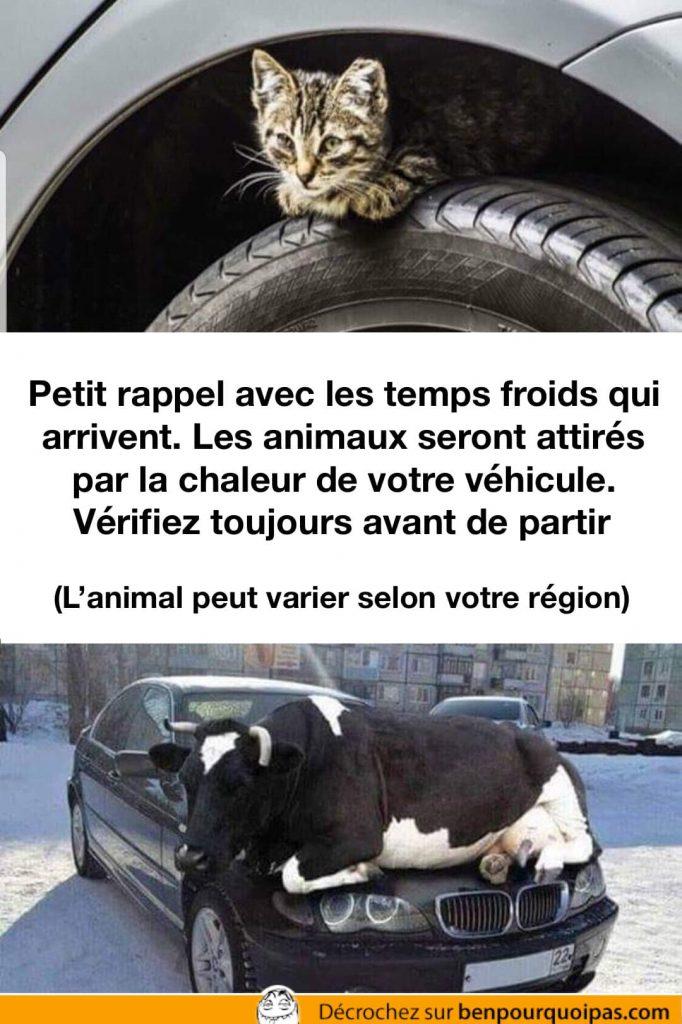 un chaton est caché sur la roue d'une voiture un une vache sur le capot