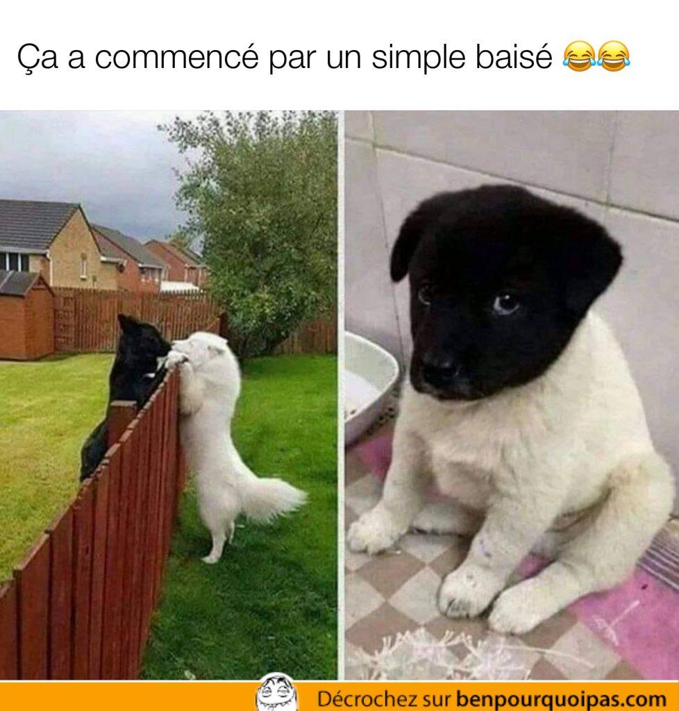 un chien blanc et une chienne blanche ont un bébé chiot deux couleur