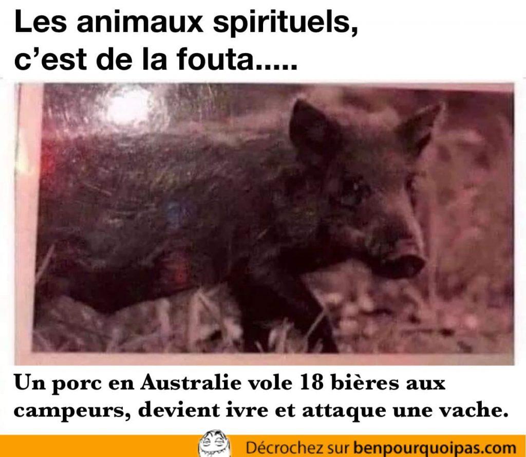 porc en australie vole de la bière et s'attaque à une vache