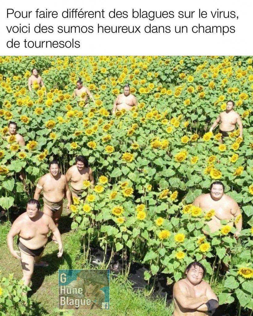 Pour faire différent des blagues sur le Coronavirus, voici des sumos heureux dans un champs de de tournesol