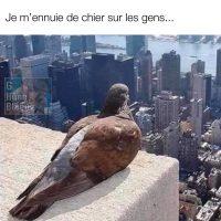 COVID-19: un pigeon s'ennuie de chier sur les gens